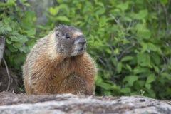 Marmotta che esce dalla sua tana Fotografie Stock Libere da Diritti