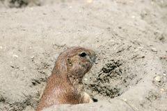Marmotta che guarda dal foro Fotografie Stock Libere da Diritti