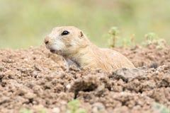 Marmotta che guarda dalla sua tana Fotografie Stock Libere da Diritti