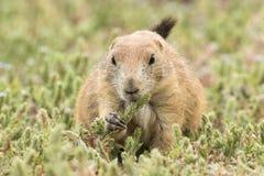 Marmotta che mangia i giovani fiori del grano Immagini Stock