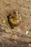 Marmotta che mangia qualche cosa di foglia verde Fotografia Stock Libera da Diritti