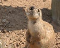 Marmotta che riposa con la sporcizia sul naso fotografia stock libera da diritti