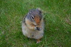 Marmotta che si siede nel cibo dell'erba Immagini Stock Libere da Diritti