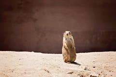 Marmotta che si siede su Fotografia Stock