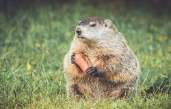 Marmotta che si siede su diritto con la grande carota in mani nella regolazione d'annata del giardino Immagine Stock