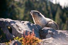 Marmotta che si siede su una roccia Fotografia Stock Libera da Diritti