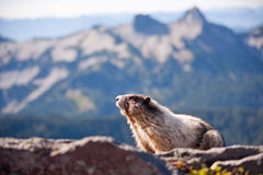 Marmotta che si siede su una roccia Immagine Stock Libera da Diritti