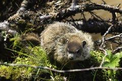 Marmotta che si siede sulla banca di una palude Immagini Stock Libere da Diritti