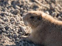 Marmotta che si trova nella sabbia Fotografia Stock Libera da Diritti