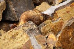 Marmotta in cima a roccia Immagini Stock