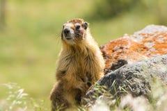 Marmotta codarda all'erta Fotografia Stock