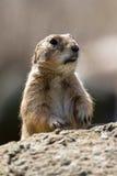 Marmotta colpita Fotografia Stock Libera da Diritti