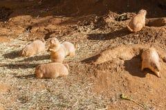 Marmotta con coda nera Immagini Stock