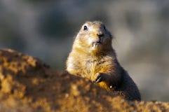 Marmotta con coda nera Fotografia Stock Libera da Diritti