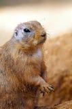 Marmotta con coda nera Fotografia Stock