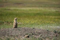 Marmotta con coda nera che fa la spia dal parco nazionale dei pascoli immagini stock libere da diritti