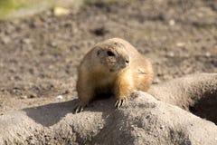 Marmotta con coda nera, ludovicianus del Cynomys, ramoscelli sgranocchianti Immagini Stock Libere da Diritti