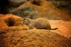 Marmotta con coda nera sulle sabbie immagine stock