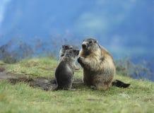 Marmotta con i giovani Fotografia Stock Libera da Diritti