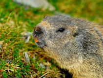 Marmotta curiosa Immagine Stock Libera da Diritti