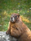 Marmotta curiosa Immagini Stock Libere da Diritti