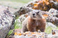 Marmotta curiosa Immagini Stock