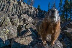 Marmotta curiosa Fotografie Stock