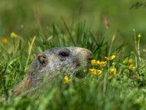 Marmotta curiosa che guarda fuori sulle alpi - 2 Fotografia Stock Libera da Diritti