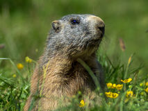 Marmotta curiosa che guarda fuori sulle alpi - 1 Fotografia Stock Libera da Diritti