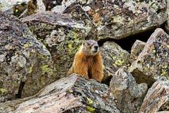 Marmotta curiosa nel parco nazionale di Yellowstone Fotografia Stock