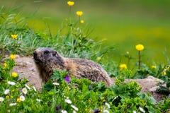 Marmotta curiosa svegliata da ibernazione in primavera Immagini Stock Libere da Diritti