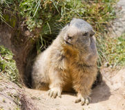 Marmotta davanti alla tana Fotografie Stock