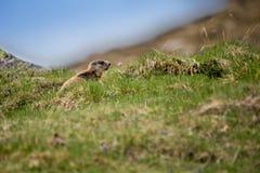 Marmotta del bambino che si siede sul prato, alpi europee Fotografia Stock Libera da Diritti