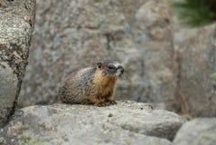 Marmotta del Colorado Immagini Stock Libere da Diritti
