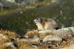 Marmotta della montagna Fotografia Stock