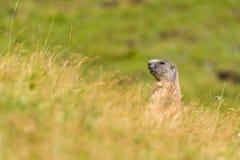 Marmotta delle dolomia Immagini Stock Libere da Diritti