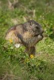 Marmotta di Alipine Immagini Stock Libere da Diritti