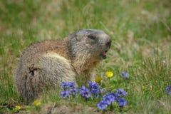 Marmotta di Alipine con i fiori di estate Fotografie Stock Libere da Diritti