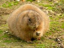 Marmotta di Blacktail Fotografie Stock