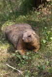 Marmotta di Bobak Immagini Stock Libere da Diritti