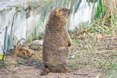 Marmotta di Bobak Fotografia Stock Libera da Diritti