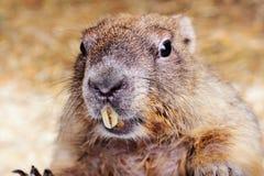 Marmotta di Bobak Fotografie Stock Libere da Diritti