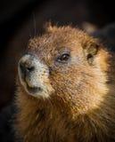 Marmotta di Colorado Fotografia Stock
