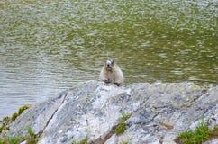 Marmotta di Montagne Rocciose del canadese Immagini Stock Libere da Diritti
