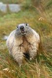 Marmotta di peso eccessivo Fotografia Stock Libera da Diritti