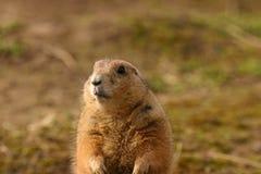 Marmotta di prateria con coda nera - ludovicianus del Cynomys Fotografia Stock