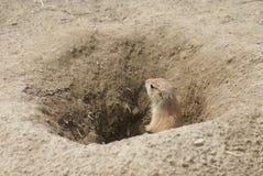 Marmotta di prateria con coda nera - ludovicianus del Cynomys Fotografie Stock