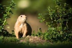 Marmotta di prateria munita il nero Fotografia Stock Libera da Diritti