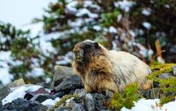 Marmotta di Snowy Fotografie Stock Libere da Diritti