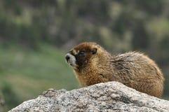 Marmotta dorata che monta la guardia su una grande roccia Fotografia Stock